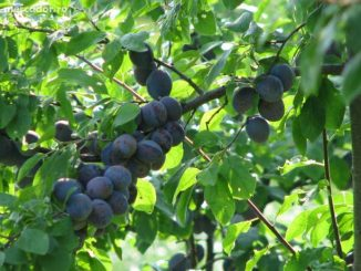 cotidianul agricol, prune