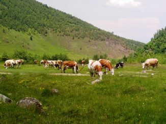 vaci_romania, cotidianul_agricol